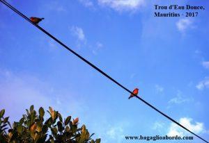piccoli passerotti rossi a Trou d'Eau Douce